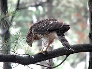 Baby Cooper's Hawk; Free Bing Photos