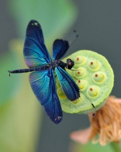 Dragonfly on Lotus hull: image re-posted from Enchanted Nature Facebook page