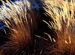 Tall grasses in late winter sun: Photo by Noelle