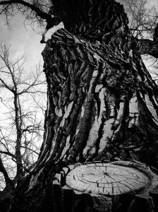 Knotted Tree near my home: Photo by Noelle