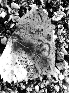 Trail Leaf: Photo by Noelle
