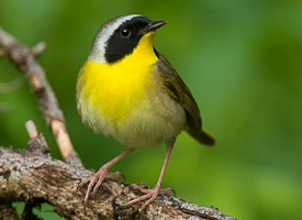 CommonYellowthroat-Vyn_090516_0021