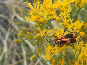 Colorado Soldier Beetles: Photo by Noelle