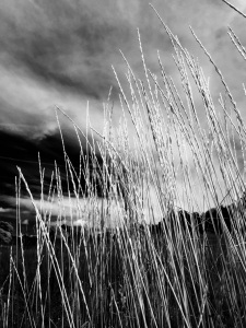 Tall grasses, South Valley Park: Photo by Noelle