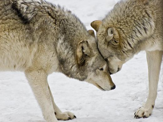 two-wolves-in-a-staredown-gary-slawsky